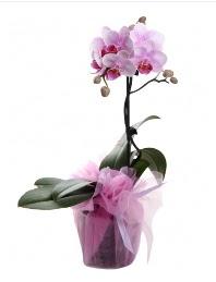 1 dal pembe orkide saksı çiçeği  Konya internetten çiçek satışı