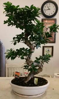 100 cm yüksekliğinde dev bonsai japon ağacı  Konya cicek , cicekci