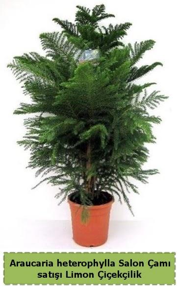 Salon Çamı Satışı Araucaria heterophylla  Konya hediye sevgilime hediye çiçek