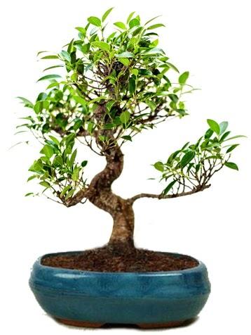 25 cm ile 30 cm aralığında Ficus S bonsai  Konya cicekciler , cicek siparisi
