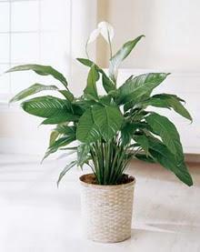 Konya çiçek gönderme sitemiz güvenlidir  spatilyum ithal büyük boy