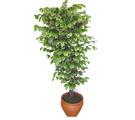 Ficus özel Starlight 1,75 cm   Konya çiçek yolla