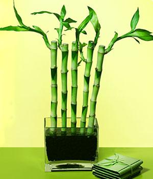 Konya çiçek , çiçekçi , çiçekçilik  Good Harmony Lucky Bamboo camda
