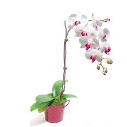Konya 14 şubat sevgililer günü çiçek  Saksida orkide