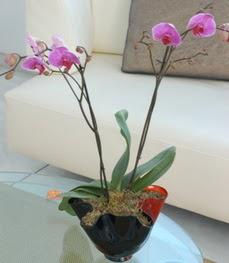 Konya kaliteli taze ve ucuz çiçekler  tek dal ikili orkide saksi çiçegi