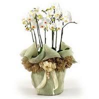 Konya güvenli kaliteli hızlı çiçek  3 dal orkide , saksi çiçegi , 3 kök orkide