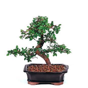 ithal bonsai saksi çiçegi  Konya İnternetten çiçek siparişi