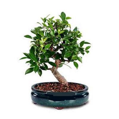 ithal bonsai saksi çiçegi  Konya güvenli kaliteli hızlı çiçek