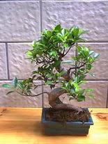 ithal bonsai saksi çiçegi  Konya ucuz çiçek gönder
