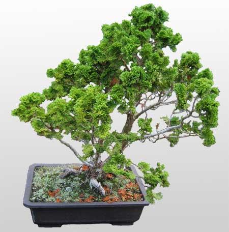 ithal bonsai saksi çiçegi  Konya cicek , cicekci