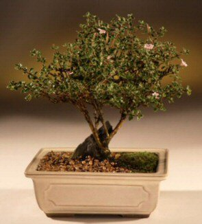 ithal bonsai saksi çiçegi  Konya çiçek siparişi sitesi