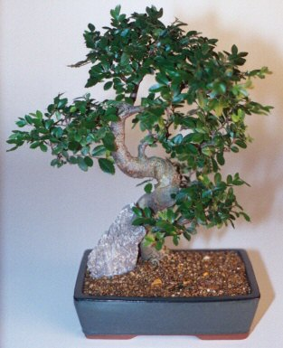 Konya cicekciler , cicek siparisi  ithal bonsai saksi çiçegi  Konya güvenli kaliteli hızlı çiçek