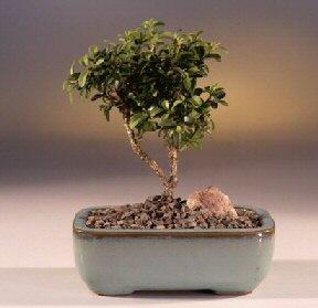 Konya uluslararası çiçek gönderme  ithal bonsai saksi çiçegi  Konya yurtiçi ve yurtdışı çiçek siparişi