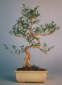 Konya hediye sevgilime hediye çiçek  ithal bonsai saksi çiçegi  Konya İnternetten çiçek siparişi