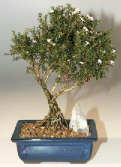 Konya çiçek online çiçek siparişi  ithal bonsai saksi çiçegi  Konya çiçek gönderme sitemiz güvenlidir