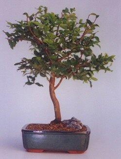 Konya çiçek servisi , çiçekçi adresleri  ithal bonsai saksi çiçegi  Konya çiçek , çiçekçi , çiçekçilik