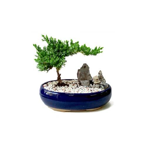ithal bonsai saksi çiçegi  Konya 14 şubat sevgililer günü çiçek