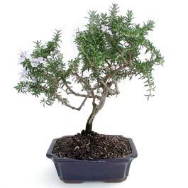 ithal bonsai saksi çiçegi  Konya anneler günü çiçek yolla