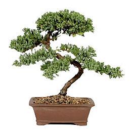 ithal bonsai saksi çiçegi  Konya cicekciler , cicek siparisi
