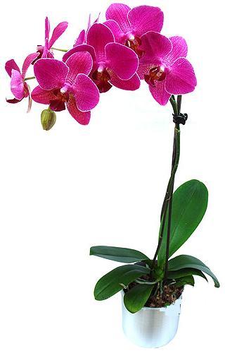 Konya kaliteli taze ve ucuz çiçekler  saksi orkide çiçegi