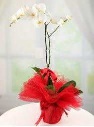 1 dal beyaz orkide saksı çiçeği  Konya internetten çiçek siparişi
