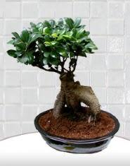 saksı çiçeği japon ağacı bonsai  Konya internetten çiçek satışı
