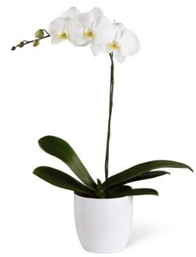 1 dallı beyaz orkide  Konya çiçek satışı