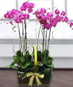 4 dallı mor orkide  Konya çiçekçiler