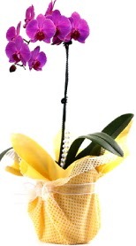 Konya güvenli kaliteli hızlı çiçek  Tek dal mor orkide saksı çiçeği