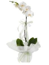 1 dal beyaz orkide çiçeği  Konya İnternetten çiçek siparişi