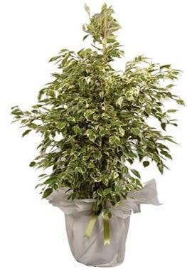 Orta boy alaca benjamin bitkisi  Konya yurtiçi ve yurtdışı çiçek siparişi
