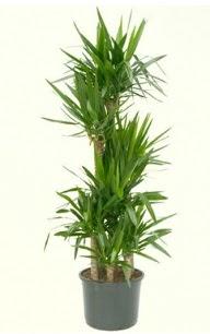 7 li yucca saksı bitkisi  Konya çiçekçi mağazası