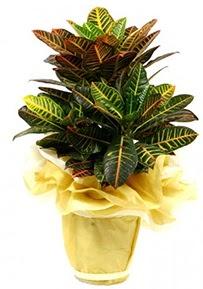Orta boy kraton saksı çiçeği  Konya çiçek satışı