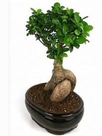 Bonsai saksı bitkisi japon ağacı  Konya güvenli kaliteli hızlı çiçek