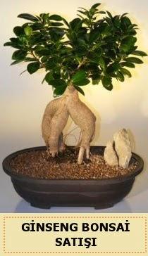 İthal Ginseng bonsai satışı japon ağacı  Konya güvenli kaliteli hızlı çiçek