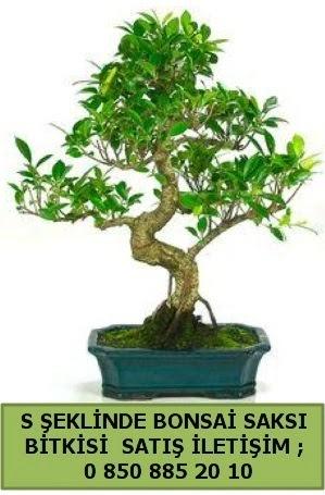 İthal S şeklinde dal eğriliği bonsai satışı  Konya 14 şubat sevgililer günü çiçek
