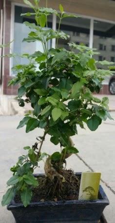 Bonsai japon ağacı saksı bitkisi  Konya İnternetten çiçek siparişi