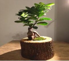Doğal kütükte Bonsai japon ağacı satışı  Konya yurtiçi ve yurtdışı çiçek siparişi