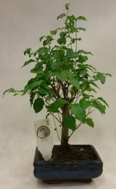 Minyatür bonsai japon ağacı satışı  Konya anneler günü çiçek yolla
