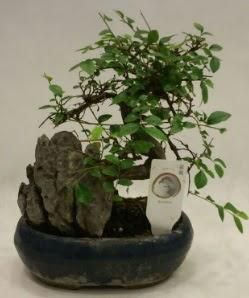 İthal 1.ci kalite bonsai japon ağacı  Konya hediye sevgilime hediye çiçek