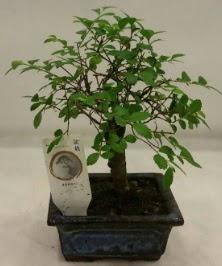 Minyatür ithal japon ağacı bonsai bitkisi  Konya hediye sevgilime hediye çiçek