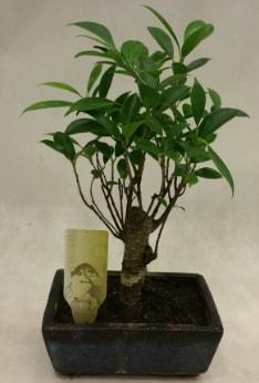 Japon ağacı bonsai bitkisi satışı  Konya anneler günü çiçek yolla