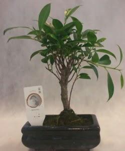 Bonsai japon ağacı bitkisi satışı  Konya cicekciler , cicek siparisi