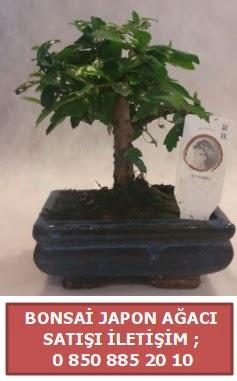 Japon ağacı minyaür bonsai satışı  Konya hediye sevgilime hediye çiçek