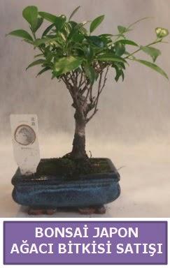 İthal Bonsai japon ağacı bitkisi satışı  Konya cicek , cicekci