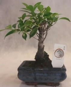 Bonsai ağacı japon ağaç bitkisi  Konya uluslararası çiçek gönderme