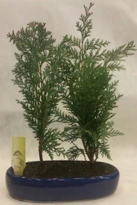 SINIRLI SAYIDA Selvi Ağacı bonsai ikili  Konya anneler günü çiçek yolla