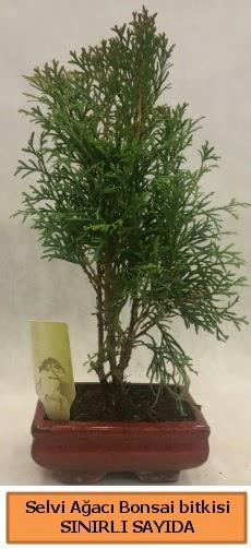 Selvi ağacı bonsai japon ağacı bitkisi  Konya hediye sevgilime hediye çiçek