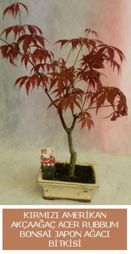 Amerikan akçaağaç Acer Rubrum bonsai  Konya çiçekçi telefonları
