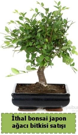 İthal bonsai saksı çiçeği Japon ağacı satışı  Konya cicek , cicekci